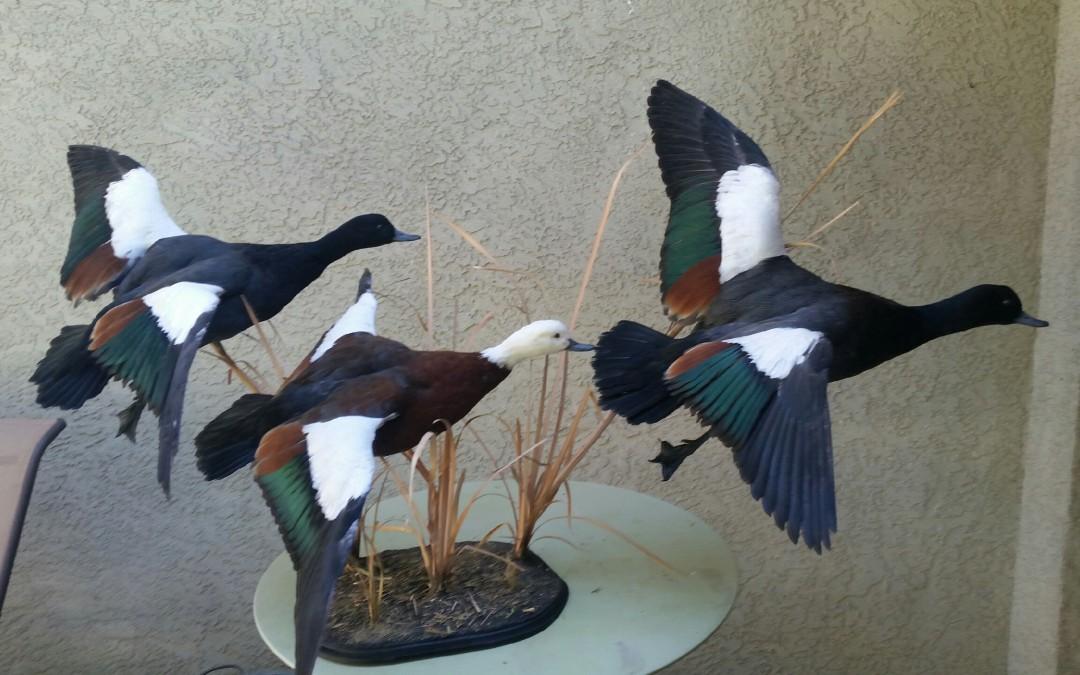 Paradise Ducks