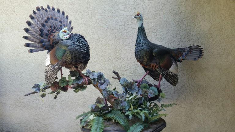 Ocelated Turkeys